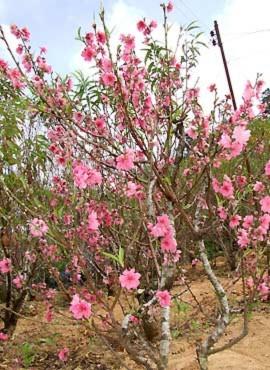 Kỷ lục Việt Nam: Thung lũng hoa đào đầu tiên ở miền Nam, Phi thường - kỳ quặc, ky luc,ky luc viet nam,thung lung hoa dao,nhieu loai hoa dao,dau tien o mien nam