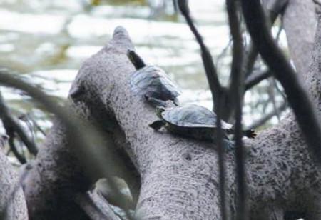 Bắt mẻ rùa tai đỏ đầu tiên ở hồ Gươm