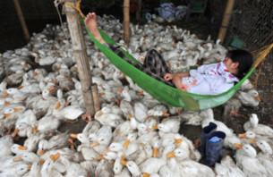 Cúm gia cầm biến đổi Việt Nam ngừng tiêm phòng
