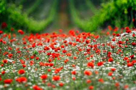Đẹp hút hồn những cánh đồng hoa - 2