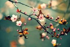 """Hình ảnh """"hoa anh đào"""" được lấy từ Shutterstock"""