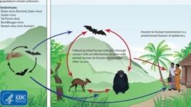 Chu trình lây nhiễm virus Ebola giữa các động vật và lây sang người