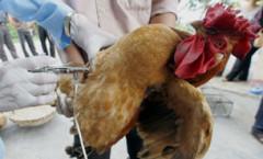 Chiến dịch chích ngừa cúm gia cầm cho gà (ảnh minh họa) AFP