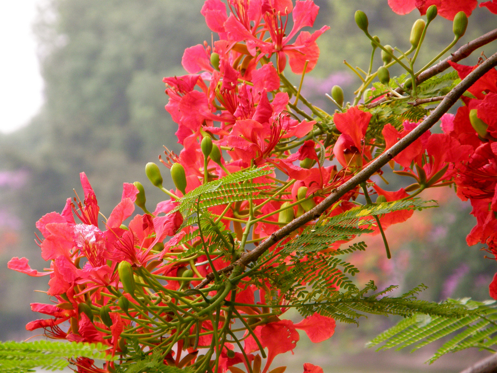 Hoa tươi phượng đỏ thắm trên đường đến trường