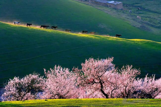 Thung lũng hoa mai hương sắc đẹp đến cạn lời ở Tân Cương - Ảnh 10.