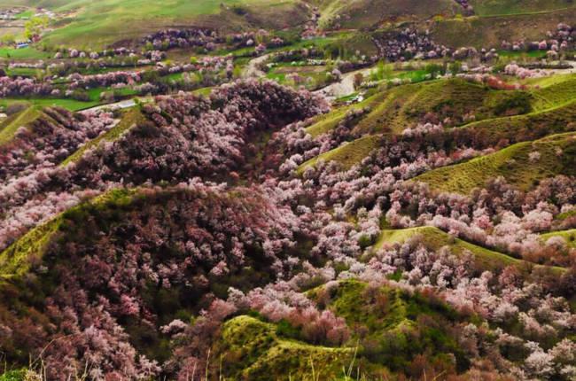 Thung lũng hoa mai hương sắc đẹp đến cạn lời ở Tân Cương - Ảnh 12.
