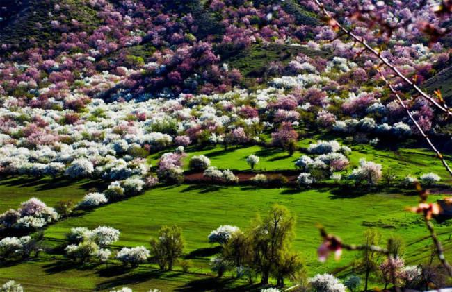 Thung lũng hoa mai hương sắc đẹp đến cạn lời ở Tân Cương - Ảnh 3.