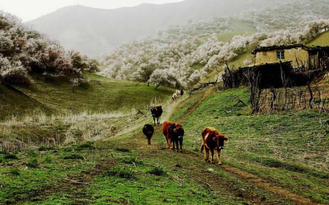 Thung lũng hoa mai hương sắc đẹp đến cạn lời ở Tân Cương - Ảnh 6.