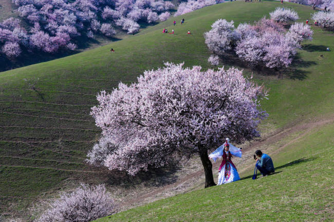 Thung lũng hoa mai hương sắc đẹp đến cạn lời ở Tân Cương - Ảnh 7.