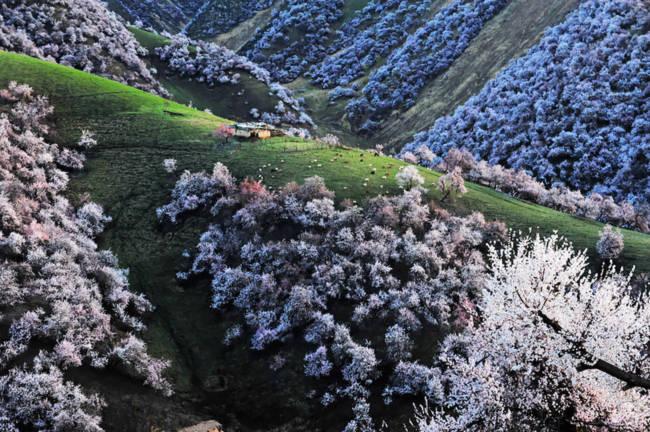Thung lũng hoa mai hương sắc đẹp đến cạn lời ở Tân Cương - Ảnh 8.