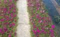 Một đường hoa mười giờ ở Long An. Ảnh Depplus
