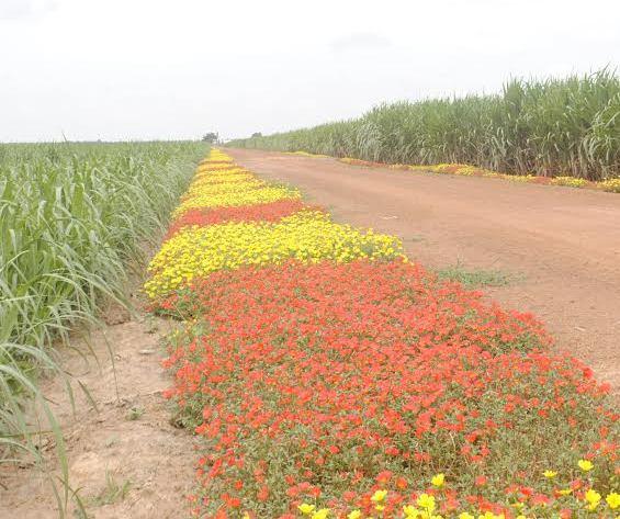 Vẻ đẹp của hoa ở nông trường. Ảnh Báo Tây Ninh