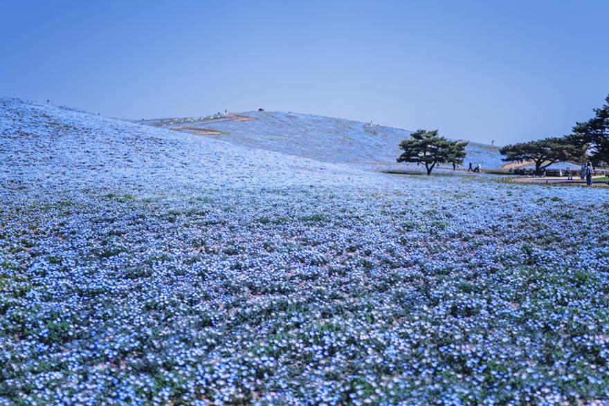 Hitachi Seaside Park, hoa mắt xanh