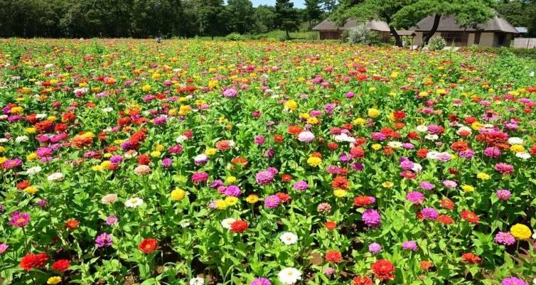 百日菊绽放于7月底到9月底。(国营常陆海滨公园官网)