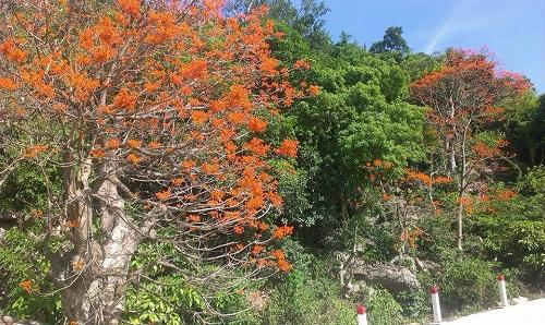 Cây Ngô Đồng ở Cù Lao Chàm. (Ảnh từ thoidai.com.vn)